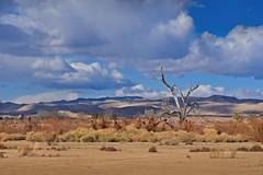 Moapa Wildlife Refuge 2664 B (jim.choate59) Tags: jchoate on1pics desert landscape moapawildliferefuge lasvegasnevada d610 deadtree lonetree singletree lonelytree