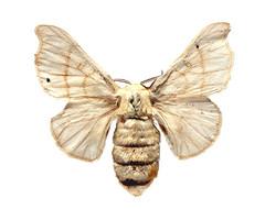 BOMBYX mori (Linnaeus, 1758)(Phalaena Bombyx) intro F (anxel70) Tags: gusanoseda silkworm bombixmori nerja laherradura bombycidae