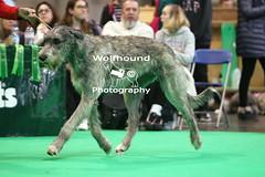 img_8885 (HoundPhotographer) Tags: irishwolfhound wolfhound hound crufts crufts2019 showdog dogshow