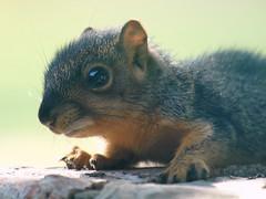 Close Up Of the Baby Squirrel (Kaptured by Kala) Tags: sciurusniger foxsquirrel squirrel garlandtexas babysquirrel baby alone cute brickwall outsidemywindow