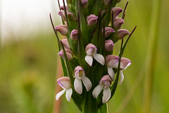 Brownleea parviflora (zimbart) Tags: nyikaplateau brownleeaparviflora africa malawi flora flowers angiosperms monocots asparagales orchidaceae brownleea