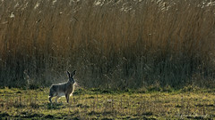 Hare In Bright Light (Alfred Grupstra) Tags: animal nature mammal wildlife grass animalsinthewild deer outdoors brown meadow oneanimal cute younganimal stag fur forest doe hunting hare