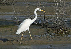 Western Great Egret (Ardea alba) (Ardea alba alba) (Francisco Piedrahita) Tags: aves birds dubai uae westerngreategret ardeaalba ardeaalbaalba greategret greatwhiteegret