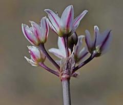 CAE022445a (jerryoldenettel) Tags: 190328 2019 allium alliummacropetalum amaryllidaceae asparagales largefloweronion lunaco monocots nm springcanyonstatepark wildflower flower onion