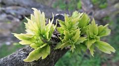 Brotes verdes (eitb.eus) Tags: eitbcom 30487 g1 tiemponaturaleza tiempon2019 flora bizkaia portugalete juantxuaberasturi