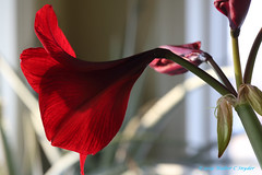 Amaryllis, I see Red No 2...Beside Myself (Walt Snyder) Tags: canoneos5dmkiii canonef135mf20lusm amaryllis plant bloom stalk leave green burgandy abstract translucent red scarlet flower portrait