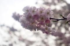 桜      H. Roussel Kynor   1 : 3.5   F = 50 (情事針寸II) Tags: printemps spring 春 クローズアップ 自然 花 桜 bokeh triplet oldlens closeup brussels nature fleur cerisier flower cherryblossoms hrousselkynor135f50