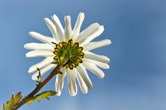 Daisy (PentlandPirate of the North) Tags: macromondays lookup daisy flower hmm
