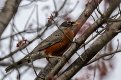 Robin and Spring (Joe Magar) Tags: birds baltimore pattersonpark sony