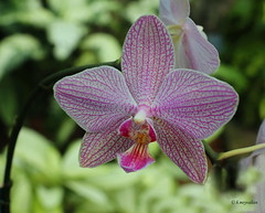 Phalaenopsis (hmeyvalian) Tags: plantae angiosperms monocots asparagales orchidaceae epidendroideae vandeae aeridinae phalaenopsis jardinbotanique montréal québeccanada