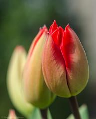 tulips 19/100x 2019 (sure2talk) Tags: tulips opening red nikond7000 nikkor85mmf35gafsedvrmicro macro closeup 100xthe2019edition 100x2019 image19100 19100x2019 shallowdof bokeh