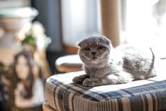 Piura (n8fire) Tags: scottishfold cat fujixt3 piura fujinonxf56mmf12rapd