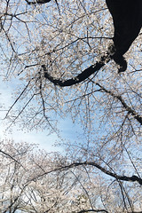 untitled (t-miki) Tags: itabashi tokyo cherryblossom 板橋 東京 桜