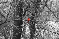 IMG_2821_color_bw (Jeffrey Terranova) Tags: canon rebelt6 avenel nj newjersey backyard wildlife cardinal