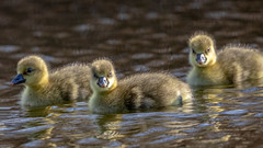 A group of gosling of greylag goose (crub2016) Tags: grågås agroupofgoslingofgreylaggoose greylaggoose