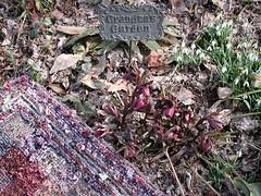 Art in the garden (LivGreen) Tags: flower garden lentenrose hellebores burgundy snowdrops