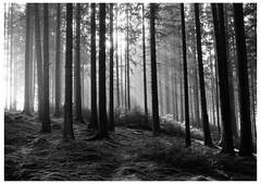 Darkroom Print: Skovstemning (LarsHolte) Tags: asahi pentax spotmatic sp m42 supertakumar takumar 35mm f20 film analog analogue ilford fp4 ilfordfp4 100iso d76 bw blackandwhite monochrome filmphotography filmforever ishootfilm larsholte homeprocessing skene sverige sweden wood trees darkroom print leitz focomat v35