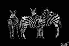 Zebra B&W (Thijs de Groot Photography) Tags: south africa thijsdegroot hoorn nature zebra krugerpark wildlife canon 80d beautyful bw blackwhite traveling travelphotography safari foto camera thysson fotografie wonderful blackandwhite outdoor grassland