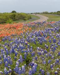 Texas Bluebonnets along the Highway (joncutrer) Tags: llano texas flower wild wildflowers blue bluebonnets bluebonnet highway travel hillcountry flora