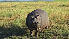 Botswana Angry Hippopotamus in Chobe National Park (h0n3yb33z) Tags: botswana animals wildlife chobenationalpark hippo hippopotamus africa