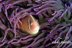 Amphiprion perideraion, Halsband-Anemonenfisch, Anemonfish (chk.photo) Tags: nature natur naturemasterclass naturewatcher dive indonesia diving ocean fish indonesien fisch outdoor underwater animal sulawesi scuba macro water tier tauchen