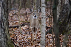 Deer-Whitetail Doe_0458 (Porch Dog) Tags: 2019 garywhittington nikond750 nikkor200500mm kentucky january wildlife nature outdoors