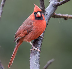 Northern Cardinal (Yer Photo Xpression) Tags: 2018 animal bird forsyth georgia ivyshaw northerncardinal ronmayhew red canoneos6dmarkii