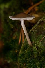 Unid Mushroom (The LakeSide) Tags: macro nikon r1c1 d7100 netherlands mushroom