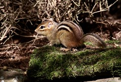 A Soft Place (Diane Marshman) Tags: chipmunk small rodent brown tan white black fur back stripes markings tail moss mossy covered rock stone fall pa pennsylvania nature wildlife