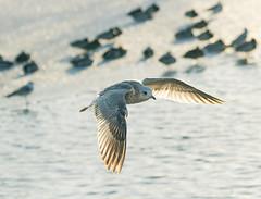 Lokki Lentää (TheSaOk) Tags: gull lokki flying bird linty lintukuva yleluonto