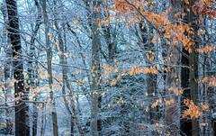 February (marinachi) Tags: winter white orange february trees twigs leaves snow sundaylights
