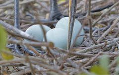 Great Egret Eggs (TomLamb47) Tags: nature wildlife bird greg eggs great egret nest branches bill leg breeding march gatorland orlando florida fl canon 7d2 100400mm