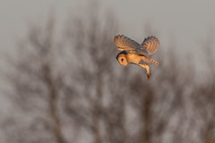 Barn Owl Hovering (PINNACLE PHOTO) Tags: barnowl barn tytoalba flight flying dust kent meadow light golden