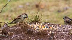 _DSC0362 (johnjmurphyiii) Tags: 06416 birds connecticut cromwell originalnef shelly tamron18400 usa wildlife winter yard johnjmurphyiii