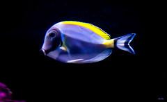 Dory now has a GPS... (Stu Bo) Tags: fish swim colorful notlost idbuyitbutidonthaveafishtank sbimageworks