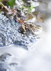 Common Frogs (Rana temporaria) and spawn (willjatkins) Tags: wildlife wildlifeofeurope europeanwildlife europeanamphibians amphibiansofeurope amphibians amphibian frog frogs frogsspawning frogspawn frogsandtoads frogsofeurope commonfrog ranatemporaria rana gardenwildlife gardenponds gardenpondwildlife ukwildlife ukreptilesandamphibians ukamphibiansandreptiles ukamphibians britishwildlife britishamphibiansandreptiles britishreptilesandamphibians britishamphibians hertfordshirewildlife hertfordshireamphibians closeupwildlife closeup macro macrowildlife nikond610 nikon sigma105mm springwildlife spring