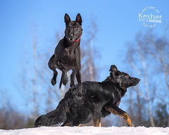 Picture of the Day (Keshet Kennels & Rescue) Tags: adoption dog ottawa ontario canada keshet large breed dogs animal animals pet pets field nature photography winter snow thai ridgeback gsd german shepherd leap jump high height black blue sky fur