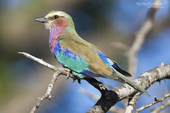 Lilac-breasted Roller - Kruger National Park (BenSMontgomery) Tags: lilacbreasted roller kruger national park skukuza bird colour color green south africa lilac