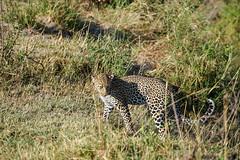 Maasai Mara, Kenya (Ninara31) Tags: maasaimara mara masai kenya wildlife safari cheetah lion buffalo bird leopard elephant africa