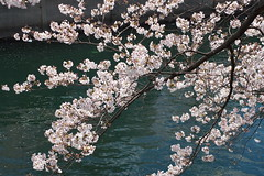 IMGP4427 (kirinoa) Tags: 神奈川県 横浜市 日ノ出町 黄金町 大岡川 桜