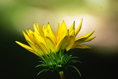 flower and sunlight (guy dhotel) Tags: