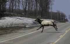Crossing the road (Petoskey Drones) Tags: elk animal road running bull antlers