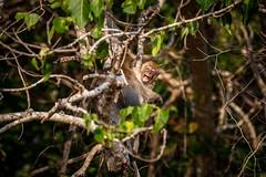 Ao Nang Monkeys (grzegorzmielczarek) Tags: krabi longtailedmacaqque langschwanzmakak javaneraffe thailand macacafascicularis aonang amphoemueangkrabi th