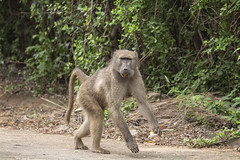 IMG_7135 (Rorals) Tags: monkey primate animal mammal safari wildlife africa southafrica kruger baboon nature
