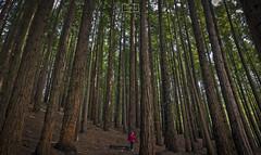 Entre secuoyas/ In a sequoias forest (Jose Antonio. 62) Tags: spain españa cantabria bosque wood arboles trees secuoyas sequoias cabezóndelasal