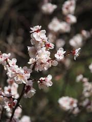 in bloom (murozo) Tags: flower blossom tree spring nikaho akita japan 花 木 春 にかほ 秋田 日本
