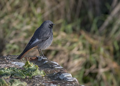 Black Redstart, Phoenicurus ochruros (Nature Exposed) Tags: blackredstart redstart bird birds nature natureexposed naturephotography wildlife wildlifephotography sussex sussexbirding sussexwildlife shoreham shorehamfort winterwatch bbcwinterwatch bbcspringwatch countryfile ukbirds