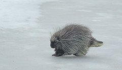 Porcupine crossing the river (hehirt) Tags: snow prickles montana winter porcupine nature