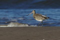 K32P0325c Bar-tailed Godwit, Titchwell Beach, November 2018 (bobchappell55) Tags: titchwell norfolk wild bird wildlife nature bartailed godwit limosalapponica wader