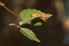 IMG_3393 Eterusia aedea formosana Jordan, 1907 茶斑蛾(蓬萊茶斑蛾) (vlee1009) Tags: 2019 60d january nantou taiwan caterpillars moths